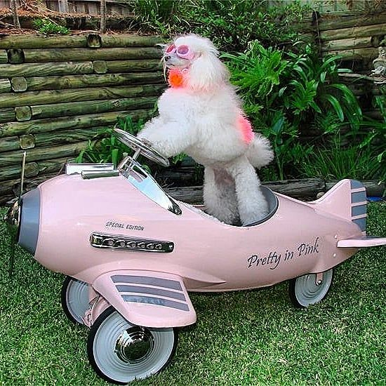 Pack up !  Lets fly fly away and let the adventure begin  #poodle #poodle #poodlesofsydney #dogsofinstagram #instagramdogs #poodlesofaustralia #trickdogs #animals #animalactor #whitepoodle #dogswithjobs #minipoodle #squadgoals # #prettyinpink #pink #plane #flying #pinkpoodle #poodleinpink