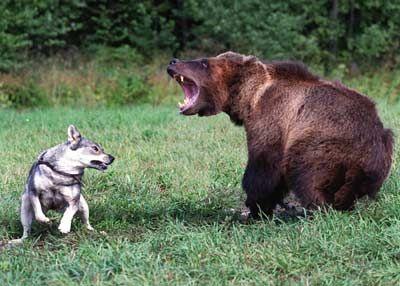 Karhu ja koira
