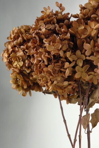 3 Stems Of Natural Preserved Brown Hydrangeas Flowers Brown Flowers Preserved Hydrangea Hydrangea Flower