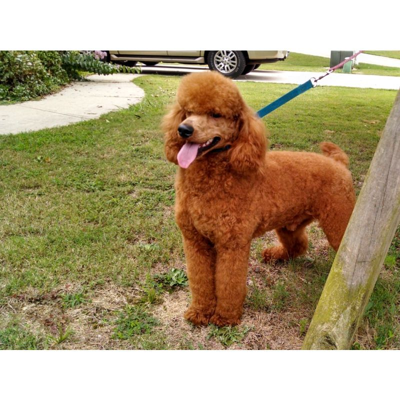 Puppies For Sale Moyen Poodle Moyen Poodles Klein Poodles