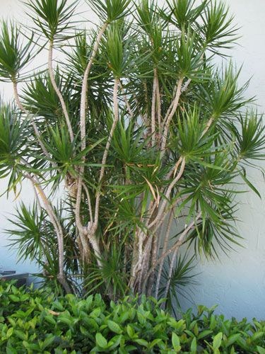 Dracaena Marginata Google Search With Images Dracena Plant