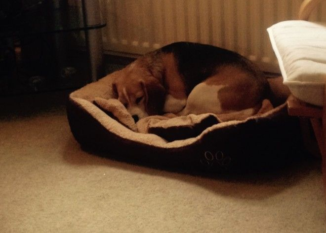 Most loving Beagle Girl | Crook, County Durham | Pets4Homes