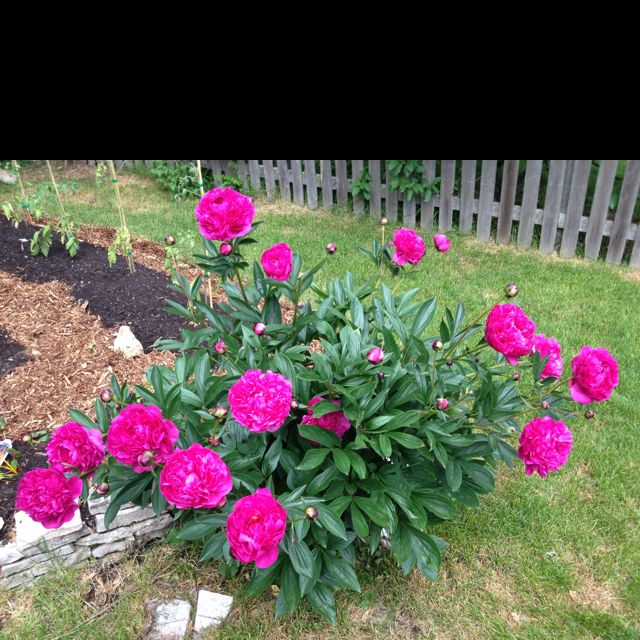 I love when these peonies come up!!!