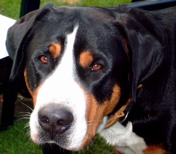 Grosser Schweizer Sennenhund Hunderassen Hunde Tiere
