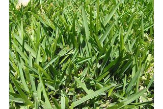 How To Make St Augustine Grass Greener And Fuller Hunker Warm Season Grass Shade Grass St Augustine Grass