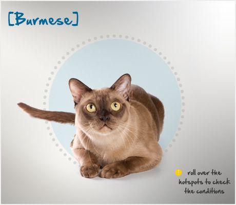 Burmese Condition Checker Burmese Cat Cat Breeds Cat Repellant