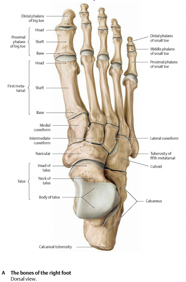 Tendons Ligaments Lower Leg Manual Guide