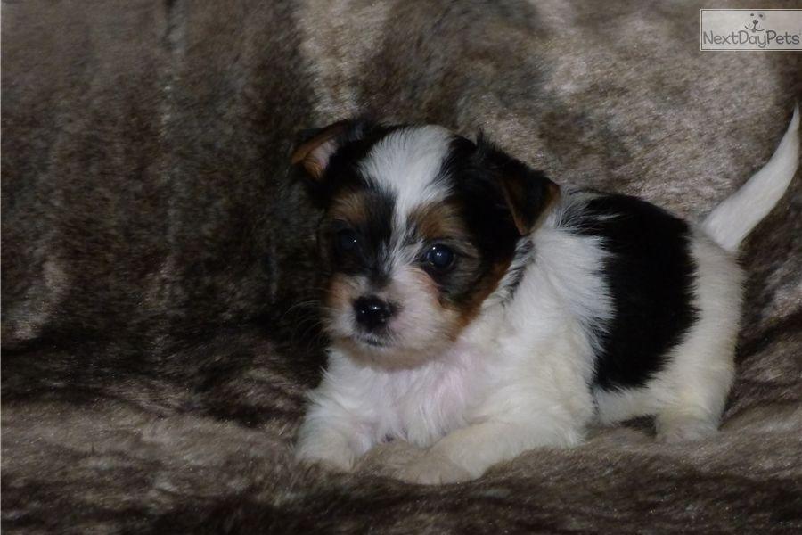 Yorkshire Terrier Yorkie Puppy For Sale Near Wichita Kansas