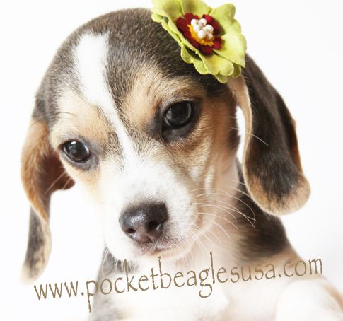 Simple Small Beagle Adorable Dog - 0b2f5d72ab094533929ae4bcb8f3eb07  Gallery_62897  .jpg