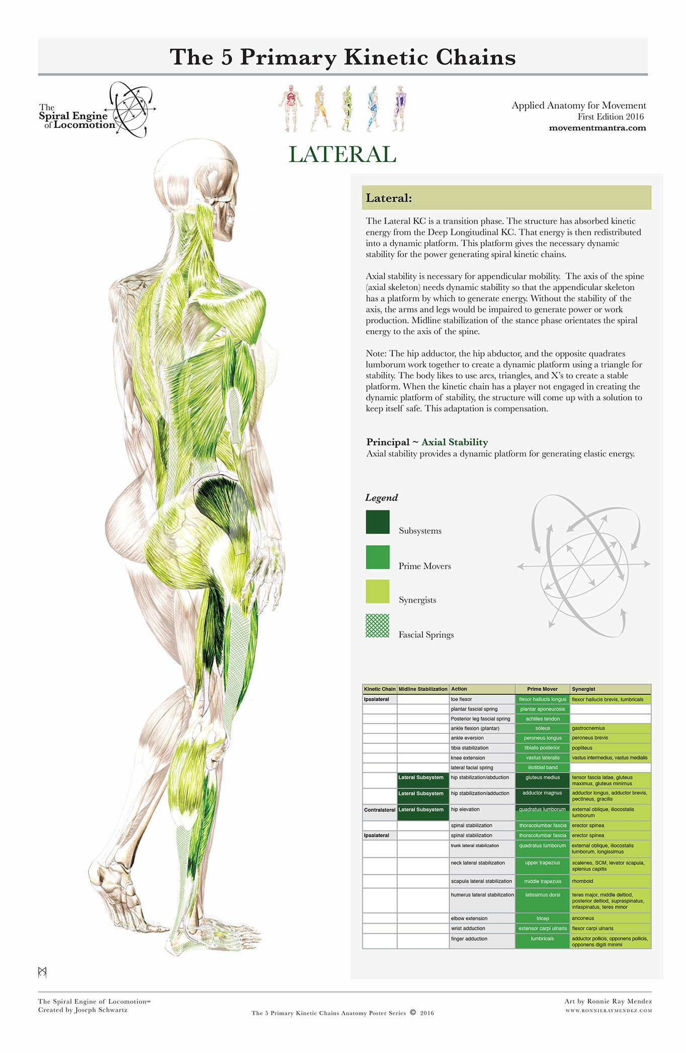 THE SPIRAL ENGINE OF LOCOMOTION | Functional Anatomy by Jeroen ...