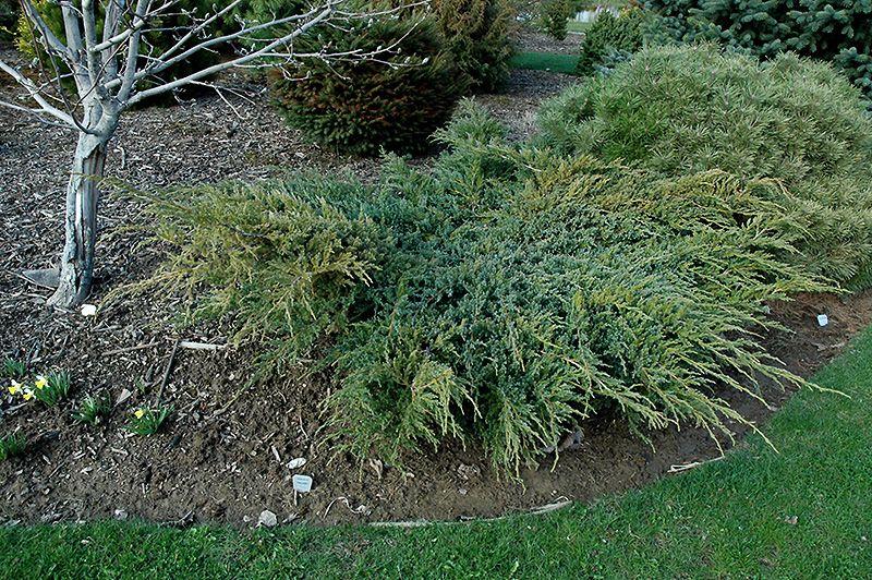 Blue Carpet Juniper Juniperus Squamata Blue Carpet At Connon Nurseries Cbv Blue Carpet Evergreen Shrubs Juniperus Squamata