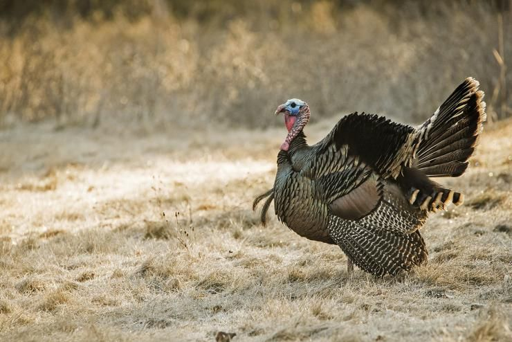 7 reasons why you wont tag a turkey this spring in 2020