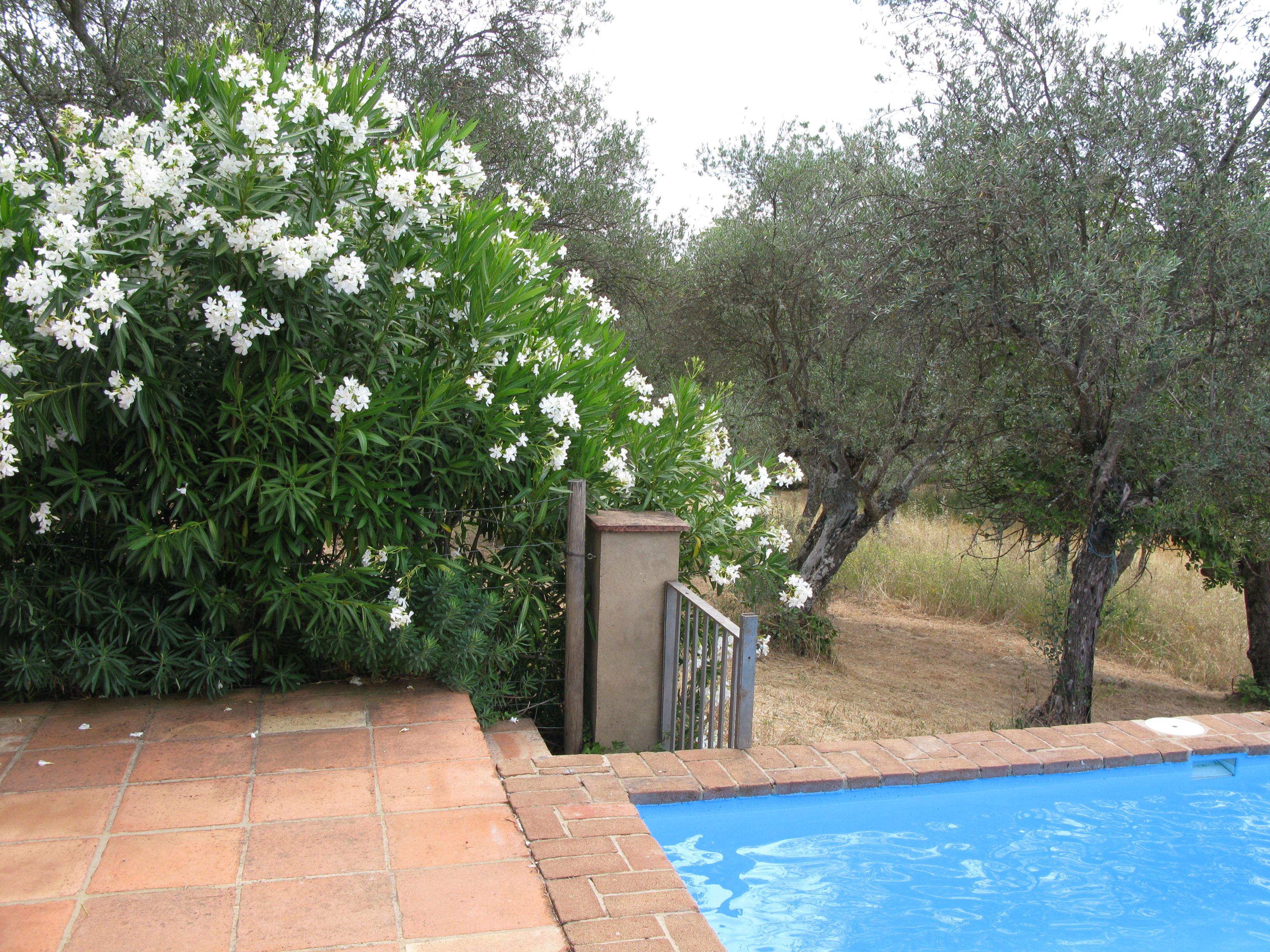Pool Privacy Ideas downthe pool, privacy is achieveda hedge of white oleander