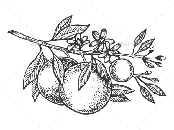 Orange Tree Branch Engraving Vector Illustration | Fruit ...