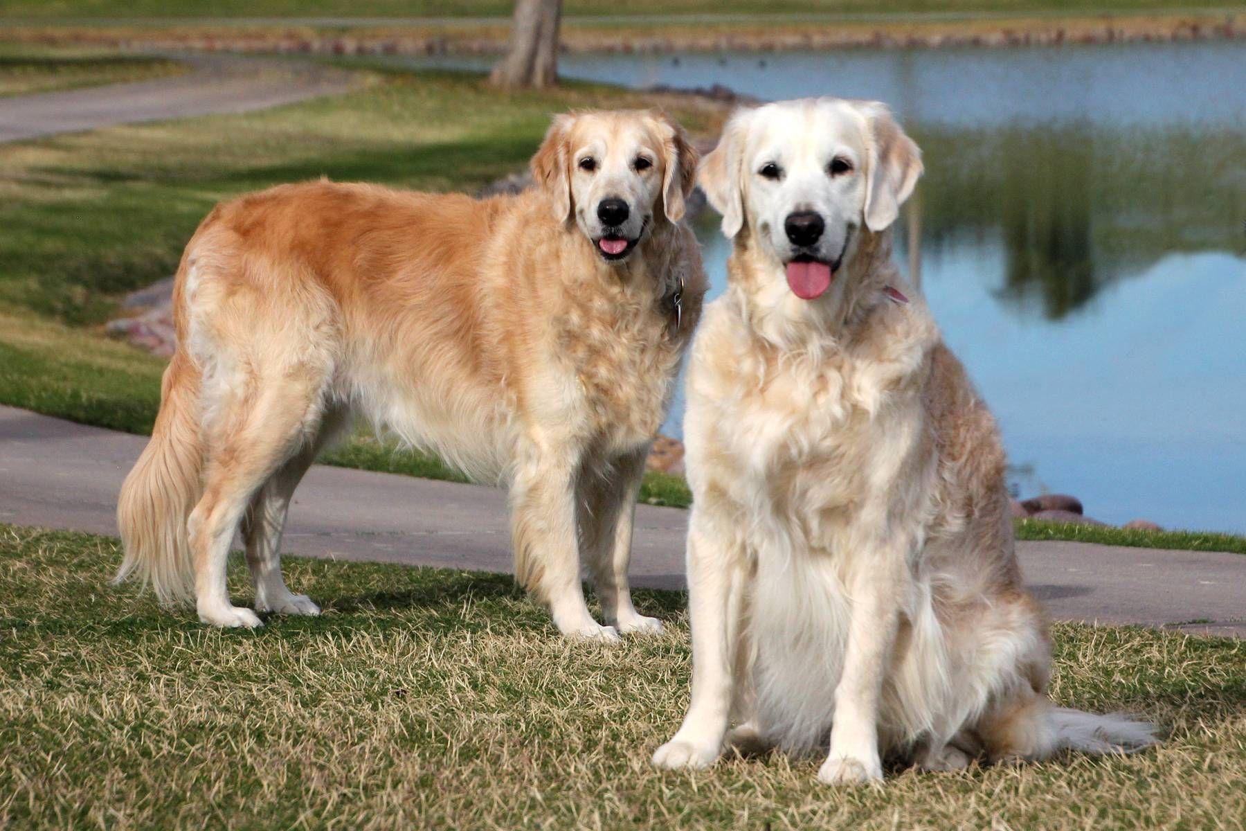 Golden Retriever Dog For Adoption In Glendale Az Adn 763474 On