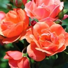 Coral Knock Out Rose    Best Flowering Shrub Roses for any garden!