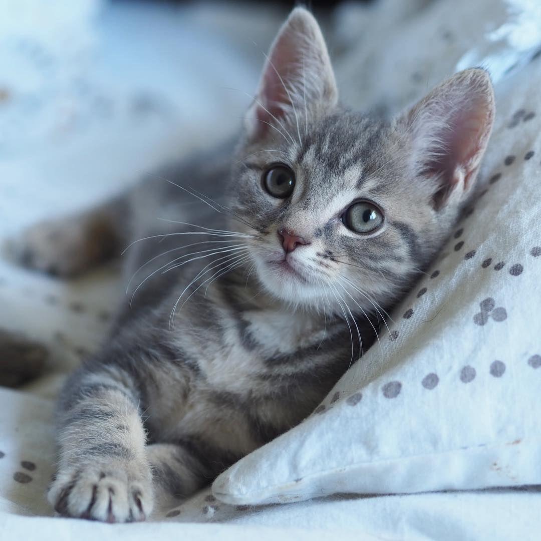 Natural Born Meowdel Bonza Bonza Kitten Fosterkitten Fosteringsaveslives Adopt Adoptdontshop Meowdel Cutekitt Cats Kittens Cutest Baby Cats