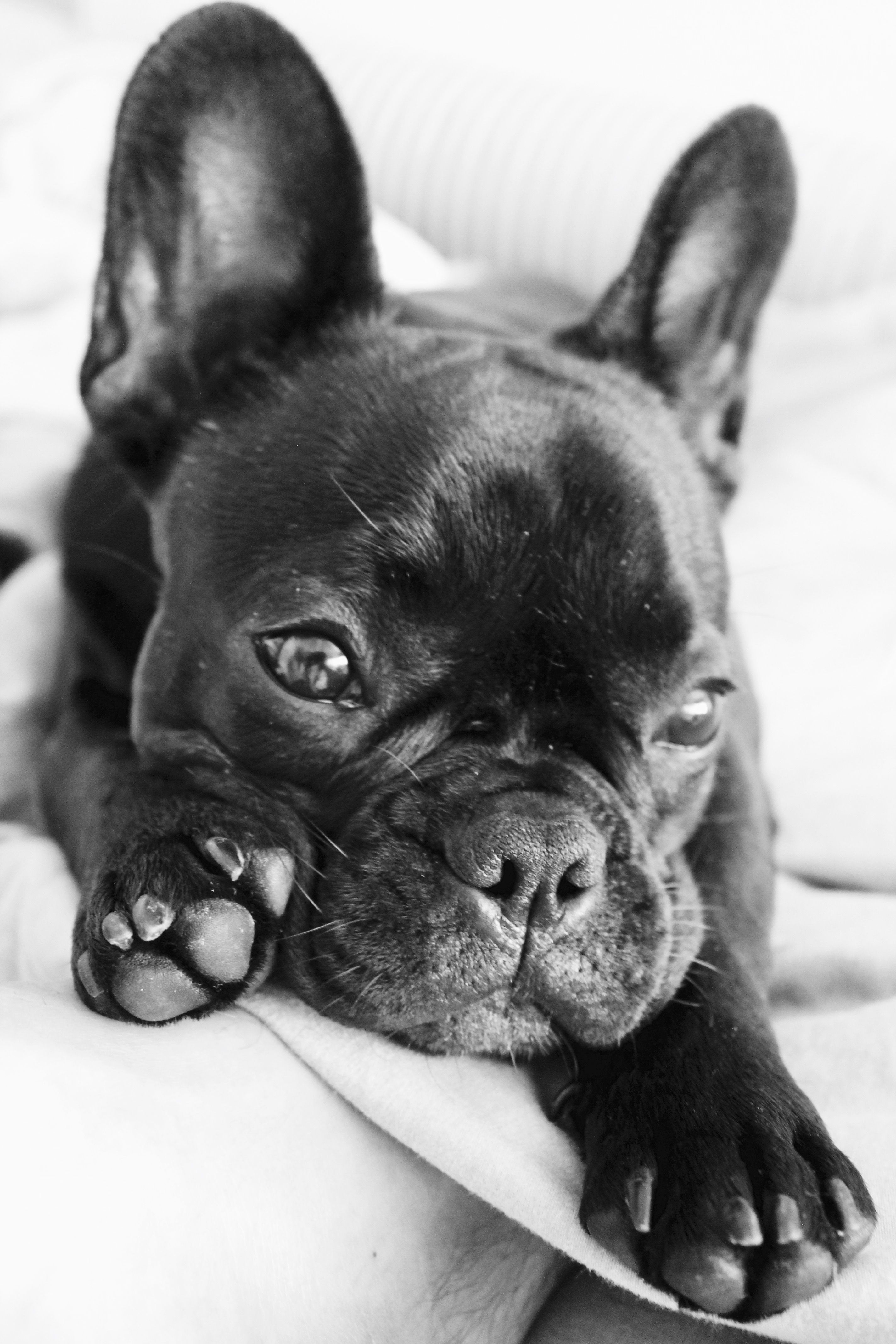 Cute french bulldog puppy sleeping in bed sweet french bulldogs