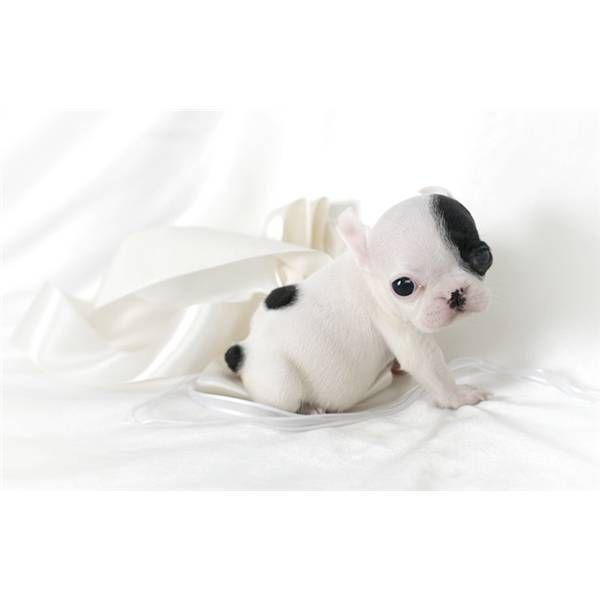 french bulldog puppy. soooo adorable <3