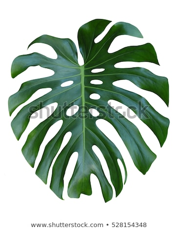 Monstera large leaf tropical jungle pattern, isolated on white background. #junglepattern