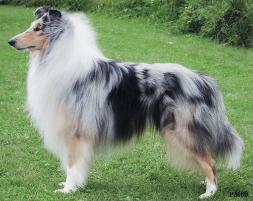 Collie Dogs Rough Collie Collie Dog Breeds