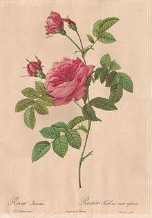 Rose Fleur Wikipedia Gravures Anciennes De Fleurs