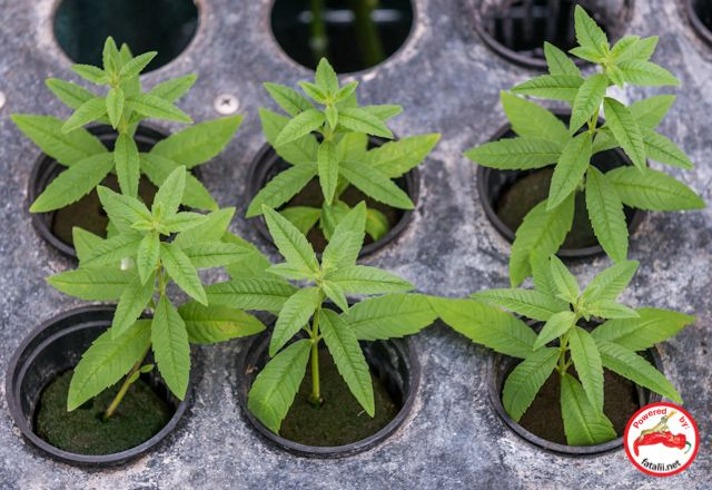 Propagation Misting Systems : Lippia cuttings rooting in an aeroponic misting system