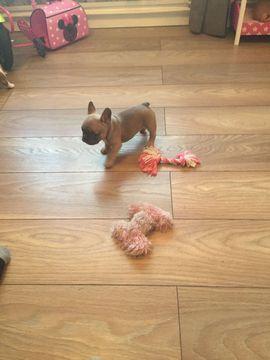 French Bulldog Puppy For Sale In Kansas City Ks Adn 24440 On