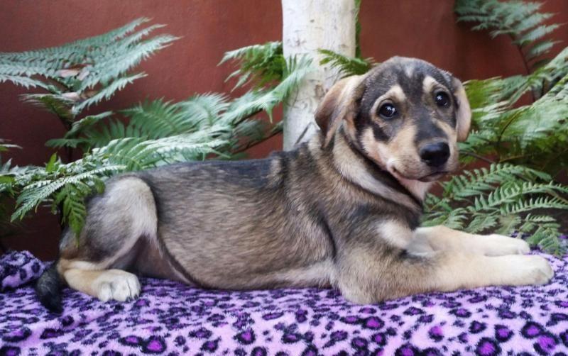 Adopt Spirt On Siberian Husky Mix Doberman Pinscher Animals Pets
