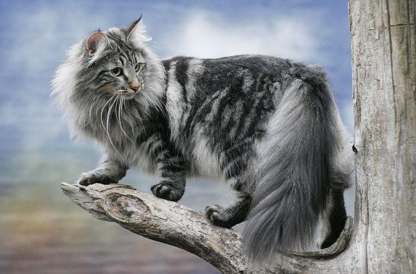 I REALLY want one of these beautiful cats! Norwegian Forest Cat