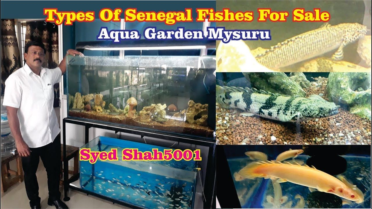 Large Size Senegal Bichir Fishes For Sale In Aqua Garden Mysuru Senega Saltwater Aquarium Fish Fish For Sale Senegal