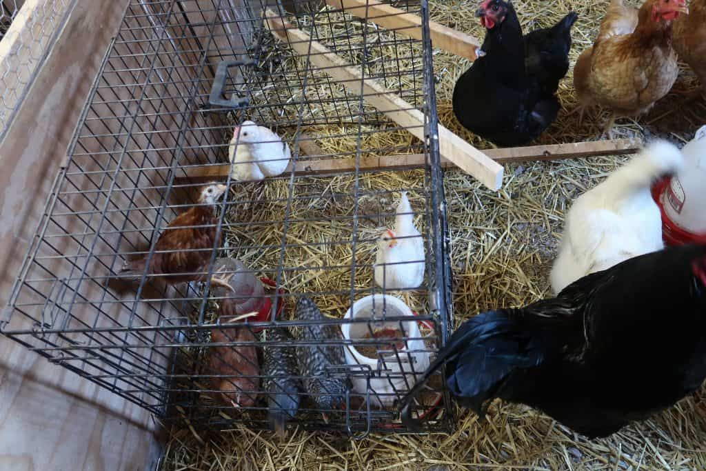 The Easy Way for Your Chickens to Love Your New Chicks