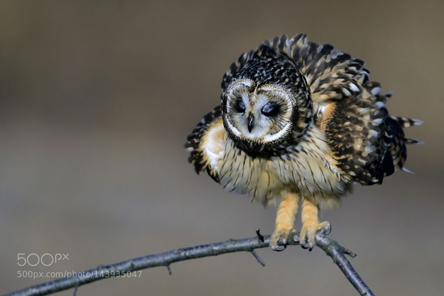 Short-eared Owl by ysbae491 via http://ift.tt/1pcJ89O