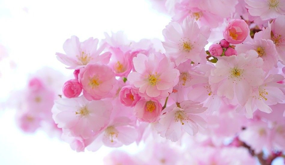 It S Sakura Time In Japan See Cherry Blossoms And Stay In Ryokans Instead Of Hotels Cherry Blossom Flowers Japanese Cherry Tree Cherry Blossom Tree