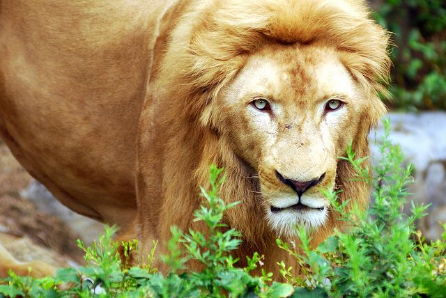 Lion by floridapfe, via Flickr