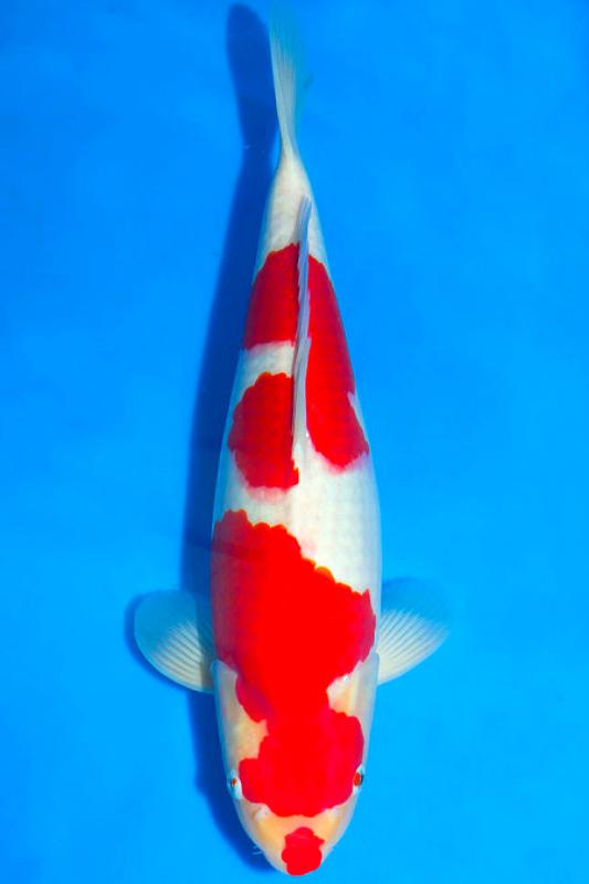 Kuchibeni Kohaku Lipstick Like Markings Ikan