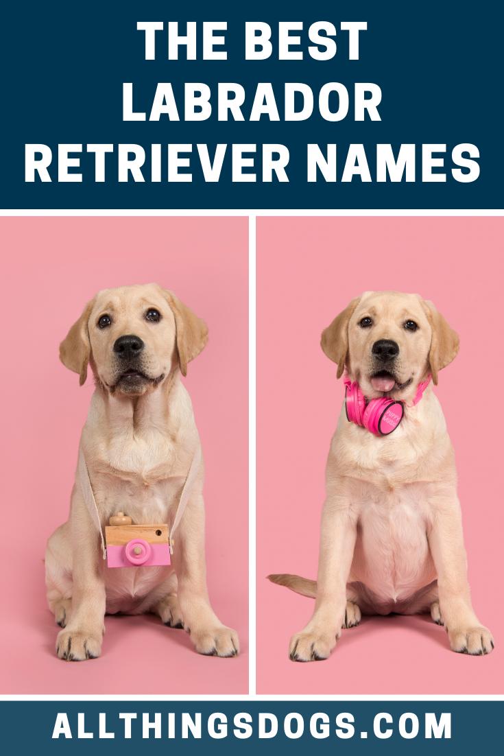 Labrador Retriever Names In 2020 Labrador Retriever Labrador Retriever