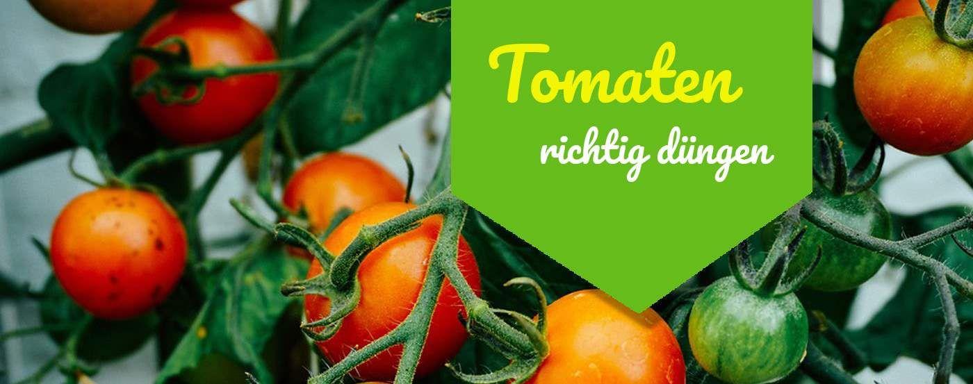 ᐅ Tomaten Dungen Anleitung So Geht Es Richtig In 2020 In 2020 Tomatenpflanzen Tomaten Garten Tomaten