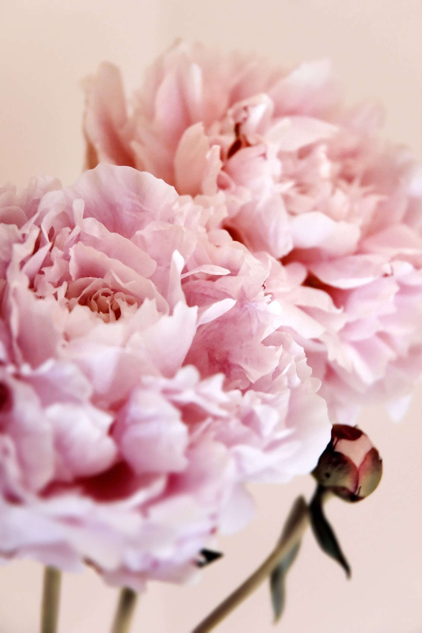 The Meaning Behind 12 Popular Valentines Day Flowers Pinterest