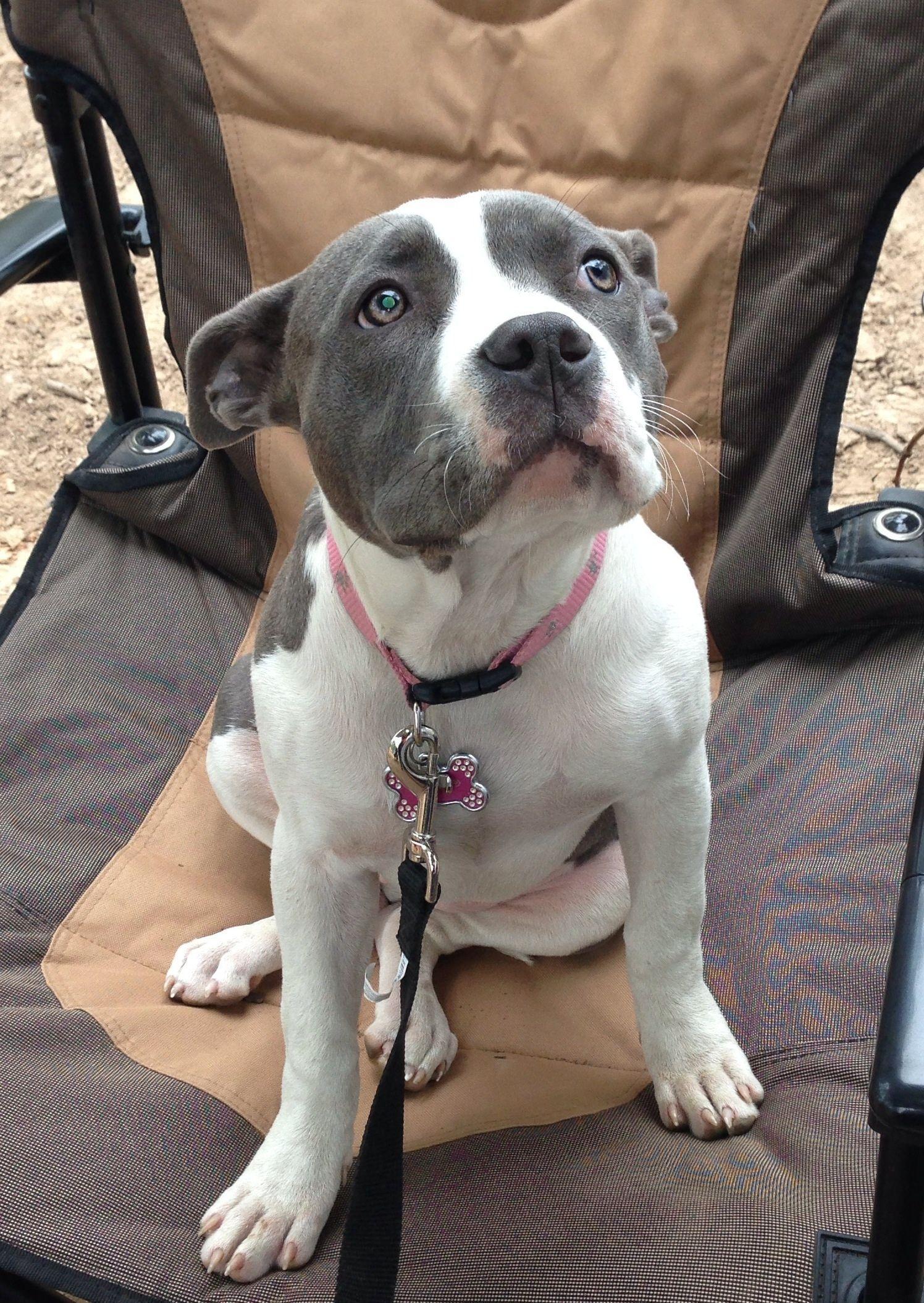 Pitbull Puppies Githunguri