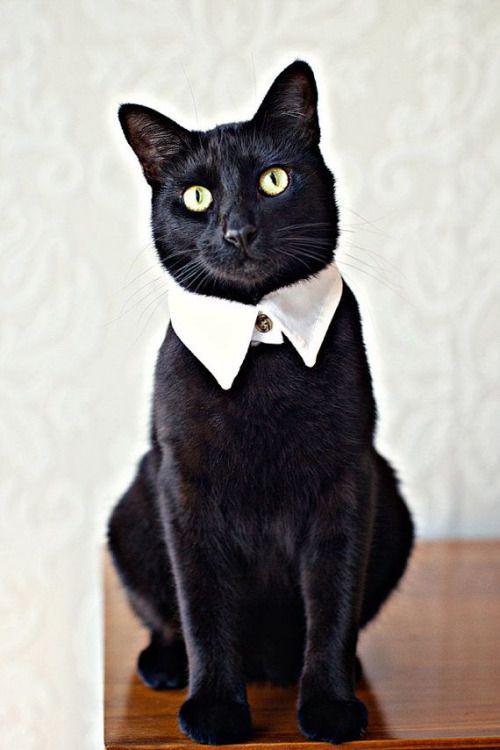 Gato preto de colarinho branco