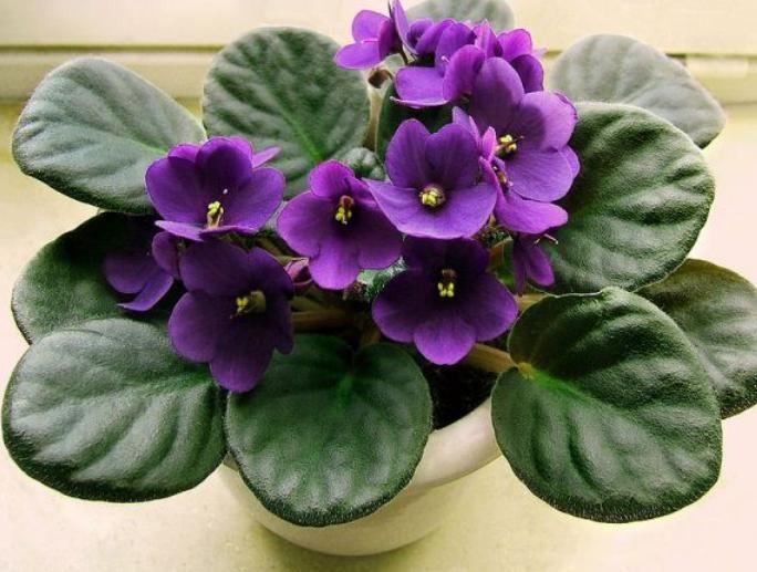 Tanaman Yang Memiliki Bunga Berwarna Ungu Dan Berdaun Tebal Ini Dapat Diletakkan Di Dalam Ruangan Untuk Mempermanis Ruangan An Bunga Eksotis Bunga Ungu Tanaman