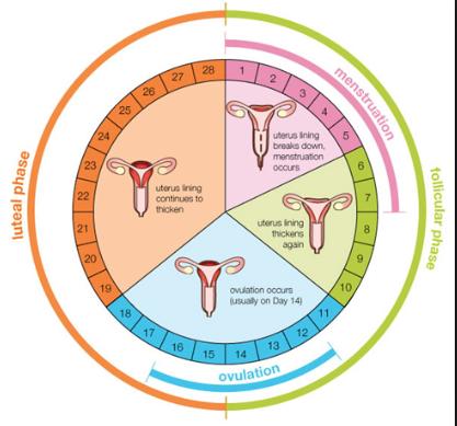 Menstrual Cycle Ovulation Chart Homeschoolingforfree Org