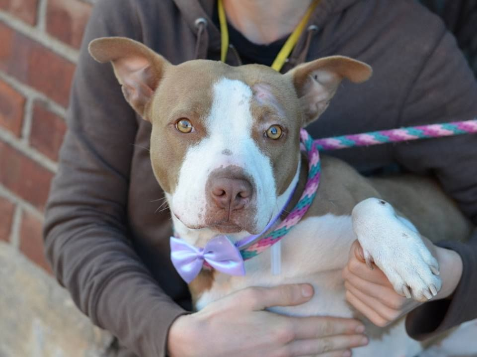 Brooklyn Center NATA - A1020153 FEMALE, TAN / WHITE, PIT BULL MIX, 1 yr STRAY - STRAY WAIT, NO HOLD Reason STRAY Intake condition EXAM REQ Intake Date 11/09/2014, From NY 11422, DueOut Date 11/12/2014, Main Thread: https://www.facebook.com/photo.php?fbid=903966799616200