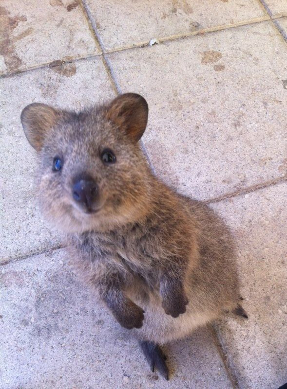 Adorable Quokkas That Will Instantly Make Your Day Better - 23 adorable photos proving babies need pets