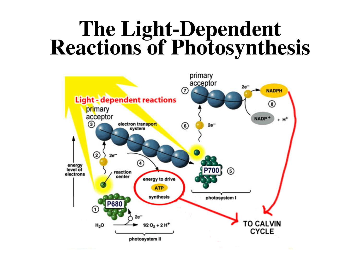 Light Reactions Photosystem Diagram Land Cruiser Headlight Wiring Photosynthesis Dependent All Things