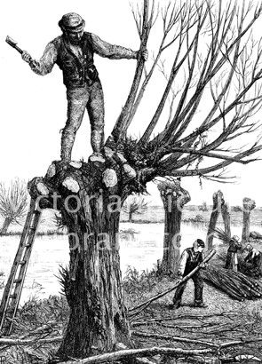 Pollarding Willows (Salix alba). Victorian illustration to download showing a picture of a man pollarding (pruning) willow trees on a river bank. He stands in the crown of a tree lopping off all the branches. A lad stacks the branches and two women make bundles of twigs (osiers). Download high quality jpeg for just £5. Perfect for framing, logos, letterheads, and greetings cards.