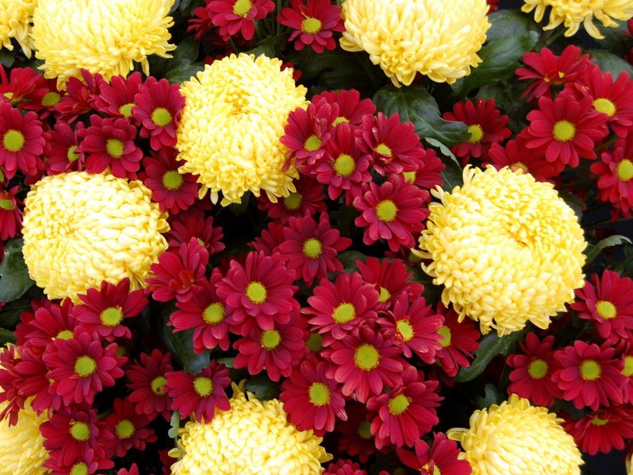 Fondos De Pantalla Flores Rosadas Crisantemo Fondo: Flores Amarillas Y Rojas. Crisantemos. Wallpaper.