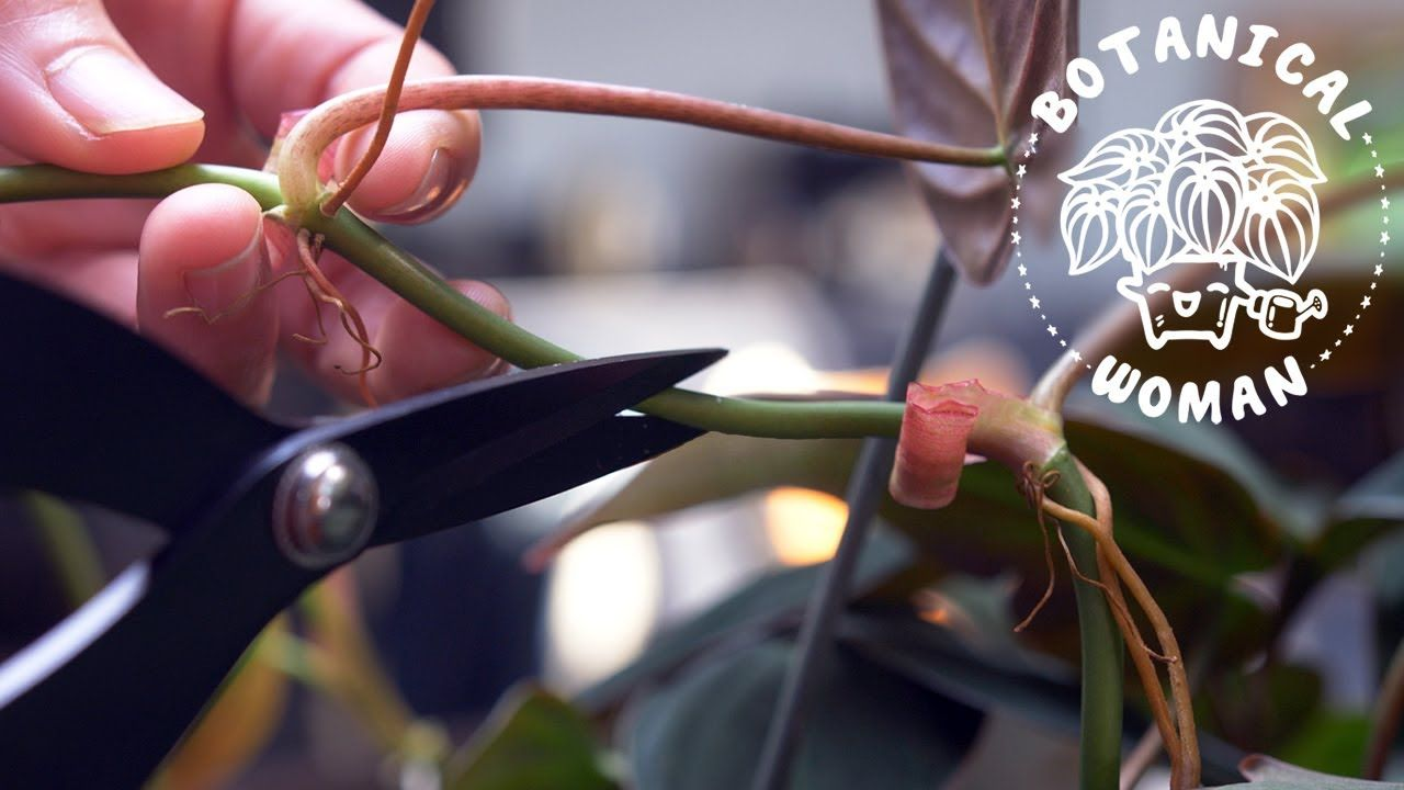 how to care for philodendron micans