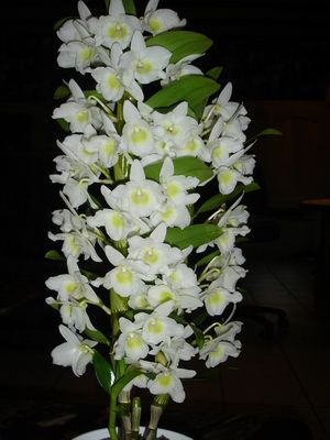 орхидея дендробиум фото уход в домашних условиях